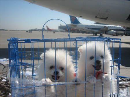 北京宠物托运公司经营长短途宠物托运