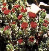 红景天苷 植物提取物 标准品 对照品