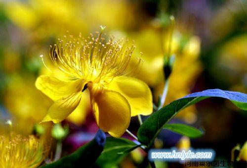 金丝桃苷 Hyperoside 植物提取物 标准品 对照品