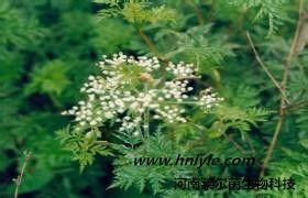 川芎嗪 植物提取物 标准品 对照品