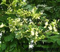 染料木素 植物提取物 标准品 对照品