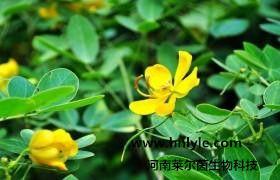 木犀草素 植物提取物 标准品 对照品