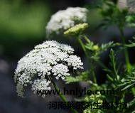 蛇床子素 植物提取物 标准品 对照品