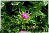 水飞蓟素 植物提取物 标准品 对照品