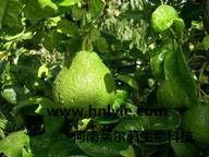 柚皮苷 植物提取物 标准品 对照品