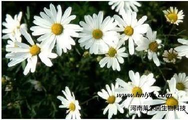 槲皮素 植物提取物 标准品 对照品