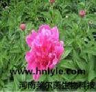 厂家直销 芍药苷98% 高纯度 植物提取物