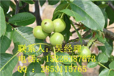 贵州核桃苗,贵州川早2号核桃苗,贵州核桃苗优势