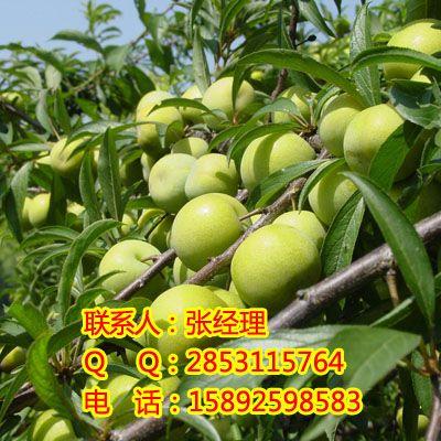 九龙坡李子苗,九龙坡李子苗品种,九龙坡李子苗产品