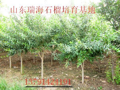 批发石榴树苗供应石榴树