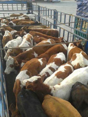 育肥牛架子牛