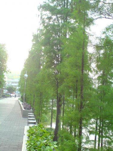 水杉水杉树