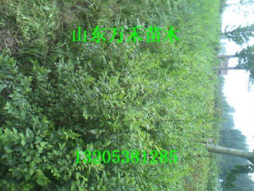 实生榆树树苗  实生榆树小苗