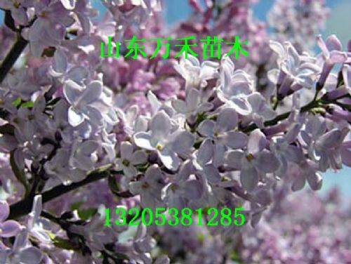 紫丁香树苗  紫丁香小苗
