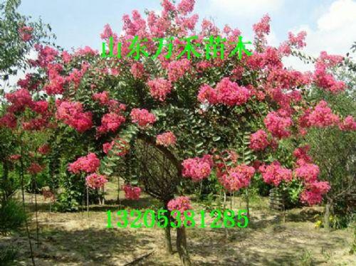 国旗红紫薇树苗价格