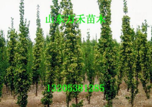 北海道黄杨树苗 北海道黄杨价格