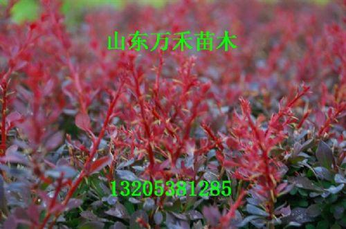 红叶小檗树苗 红叶小檗价格