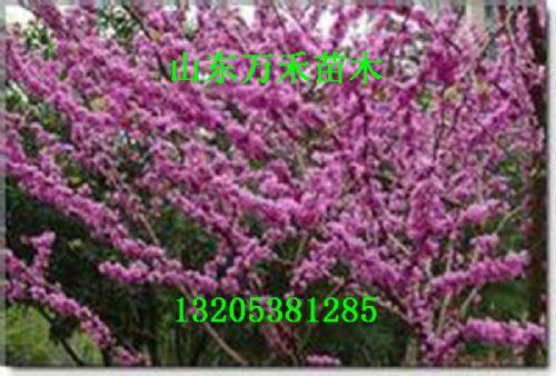 红花紫薇树苗 红花紫薇价格