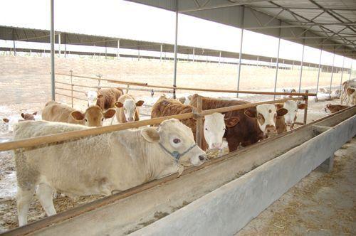 肉牛养殖技术肉牛如何选择品种西门塔尔鲁西黄牛