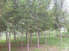 供应低价榆树、全冠榆树、山西榆树