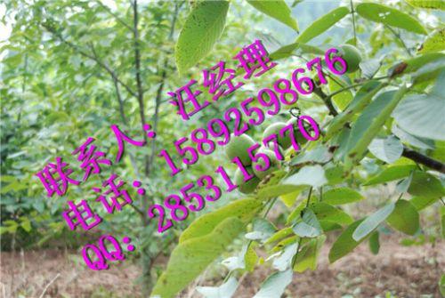 早实核桃树与晚实核桃树定干的区别