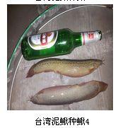 广东英杰台湾泥鳅