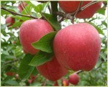 山西苹果树 运城苹果苗 绛县苹果树