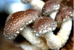 出售各种食用菌特别是香菇