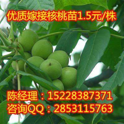 清镇川早核桃苗,清镇川早核桃苗可亩产过千斤