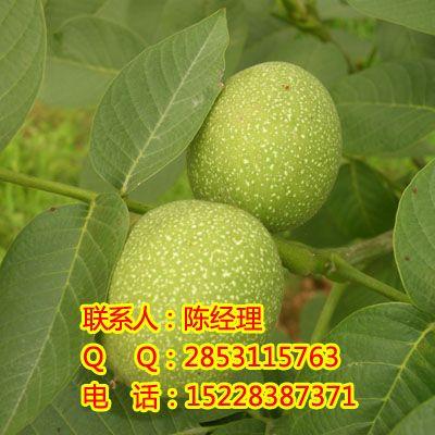 南部核桃树,南部核桃树苗,南部核桃树苗批发,南部核桃树苗价格