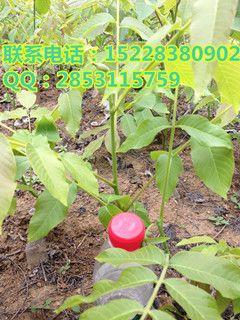 石棉香玲核桃树,石棉香玲核桃树介绍