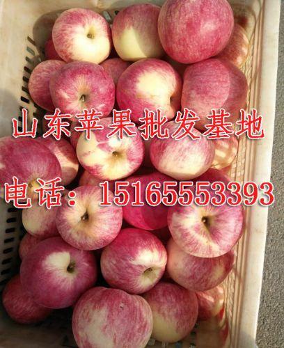 15165553393,山东苹果批发厂家/山东红富士苹果最新报价