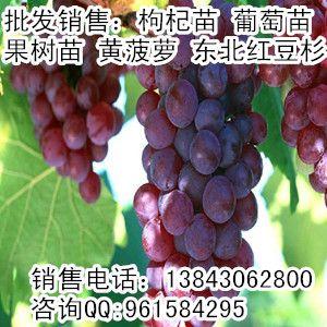 哈尔滨葡萄苗,哈尔滨出售葡萄苗