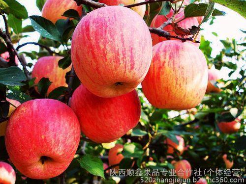 陕西膜袋红富士苹果价格