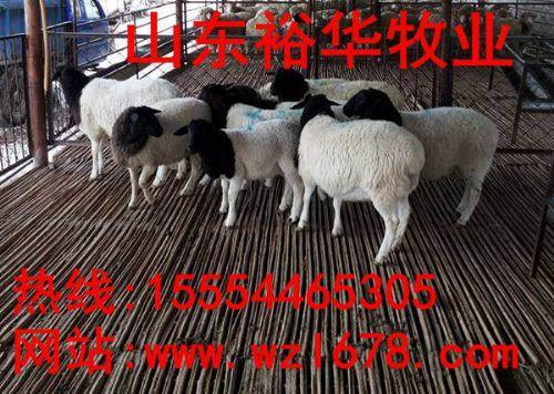 杜泊绵羊养殖利润与纯种杜泊羊价格走势
