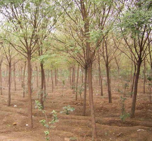 长期出售山东济宁3-7公分国槐汇之源苗木