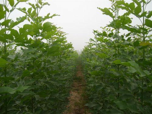汇之源苗木常年供应安徽合肥1-5公分白蜡小苗