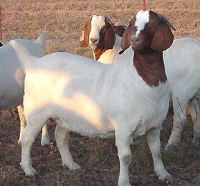 波尔山羊杂交肉羊的养殖 饲养波尔杂交肉羊