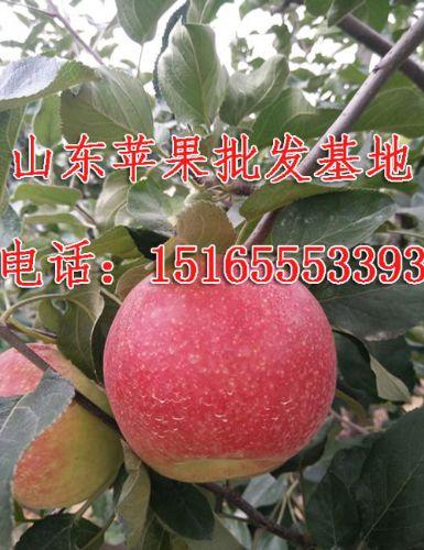 15165553393,山东红星苹果批发/山东嘎啦苹果供应商