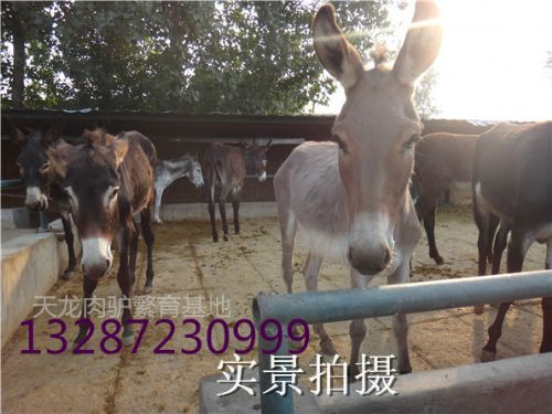内蒙古养一头肉驴的利润是多少?肉驴养殖技术