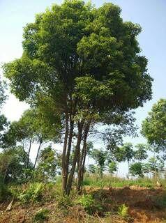 红东园林供应精品湖北香樟