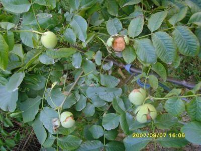 优质核桃苗 核桃苗品种大全 3-10公分核桃树处理