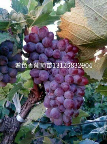 出售紫叶稠李繁育中心价格,吉林紫叶稠李绿化苗