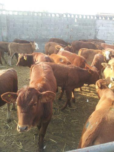 种牛、育肥牛鲁西黄牛基地,山东顺牧品种更全、价格更
