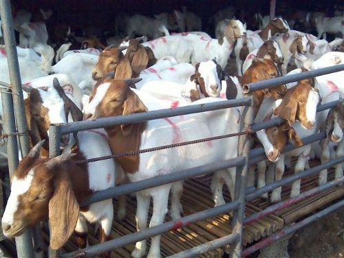 波尔山羊短期育肥的方法白山羊养殖场努比亚黑山羊