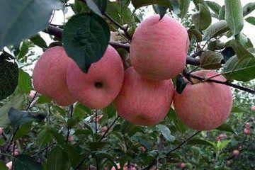 供应陕西苹果苗 基地苹果苗直销