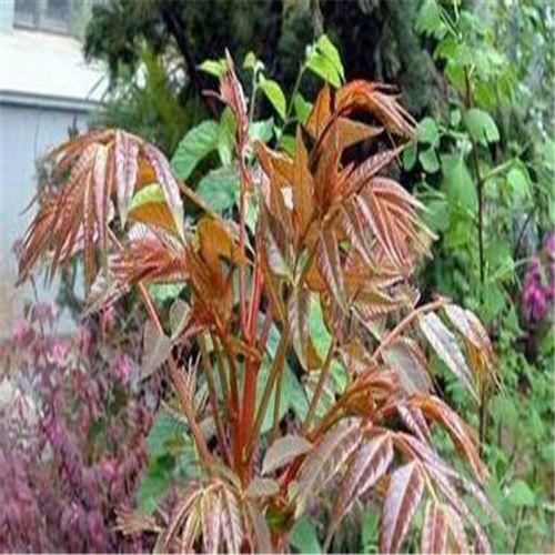 山西香椿苗 果树苗 供应香椿树