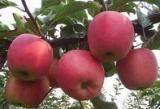 山东省临沂市金桥苗木种植专业合作社:供应苹果苗、矮化苹果苗