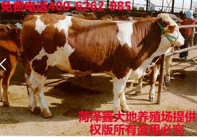 改良西门塔尔牛养殖