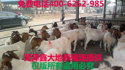 改良波尔山羊养殖基地